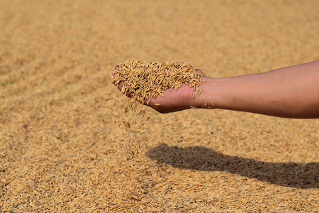 Hand holding golden paddy seeds subcontinent