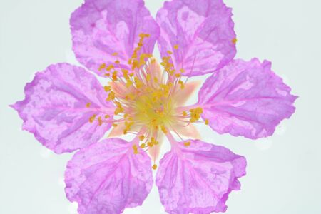 lagerstroemia speciosa,Pride of India, Queens flower isolated on white background.