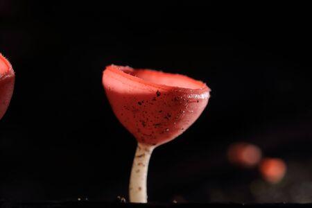 Champagne mushroom or pink cup mushroom