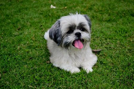 shihtzu: Shihtzu sitting on grass