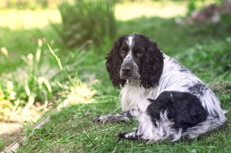 Beautiful black and white dog breed Spaniel, which lies peacefully on the green grass