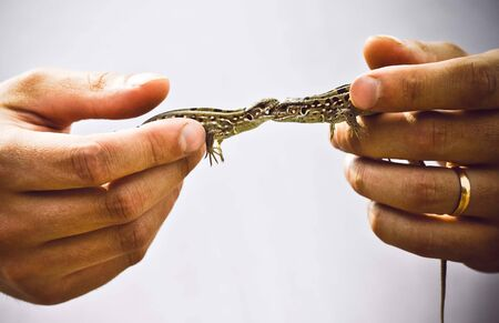 Quarrel of two motley wild lizards which are held by man's hands 写真素材