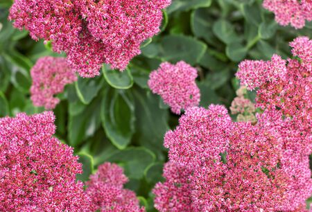 Unusual garden designer pink flowers on a green background with place for text.