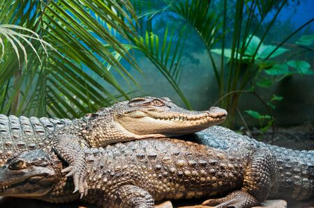 siamensis: Crocodylus siamensis Schneider Stock Photo