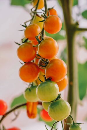 Ripe cherry tomatoes or mini tomatoes are on the green blur background. Tomatoes are grown in a greenhouse on an organic farm. Royalty high-quality free stock image of tomato. Food photography.