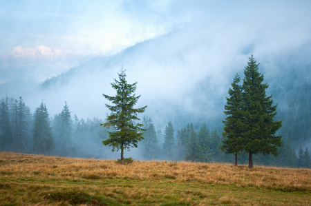Three spruce trees on a pasture high up in the Carpathian mountains early in the morning covered with clouds and mist Stock Photo