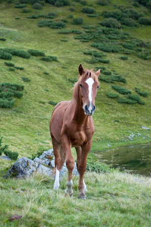 Brown horse in the wilderness of the Carpathian mountains looking forward in the camera Stock Photo