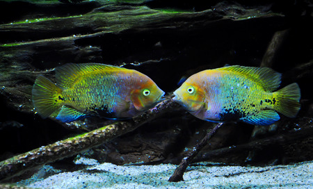 Two multicolored fish floating symmetrically on the bottom of the aquarium with open mouths. They are talking or are about to kiss