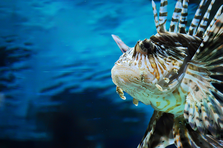 Closeup of the face of lionfish on the background of dark blue water in an aquarium
