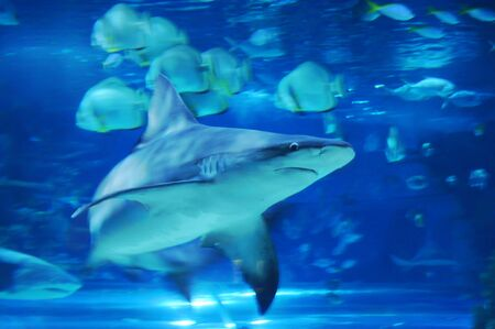 One large shark among many small fish in a tank Stock Photo