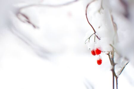 Several red ripe fruits of viburnum covered in snow and hanging on a branch. Minimalistic style. Cold winter day in January Stock Photo