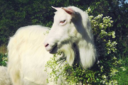 Closeup of one white goat standing among green grass on a warm spring day. Goat is smiling and winking, happy and satisfied, wearing a big flower wreath on her neck, posing for camera like a model Stock Photo