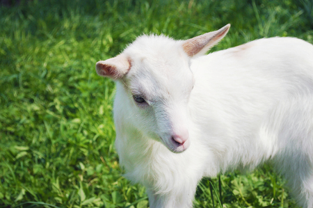 One small white young goat standing among green grass on a warm spring day bowing its head a little, looking with determination and confidence
