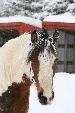 Horse portrait in snow with red buildings in background photo