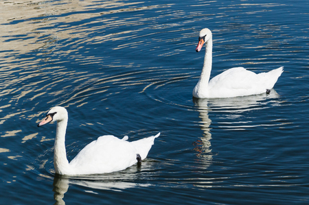 two white swans swim across the water one after another