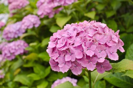 Pink Hydrangea Flowers Stock Photo