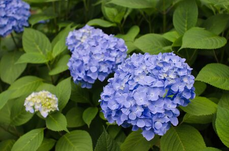Purple Hydrangea Flowers Stock Photo