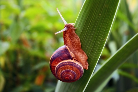 grape snail Stock Photo - 14751685