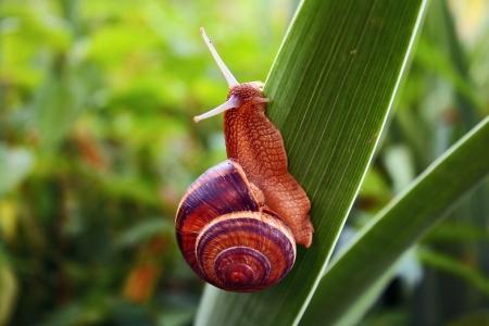 grape snail: grape snail Stock Photo