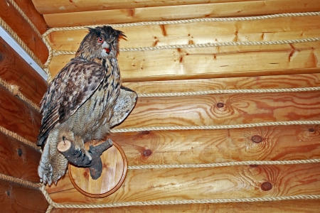 A stuffed owl decorates the wall of a log house photo