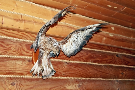 stuffed hawk on the wall of the hunting Lodge photo