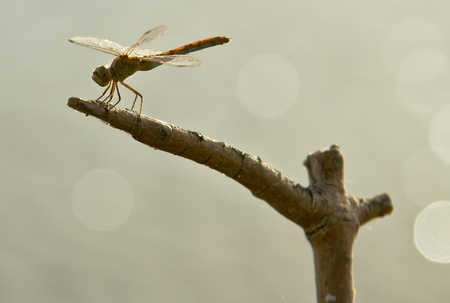 Dragonfly sits on a branch photo