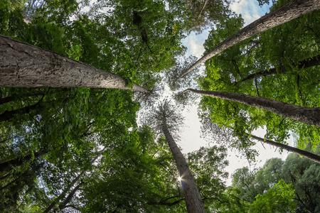 Crown of large pine trees seek the sky Imagens