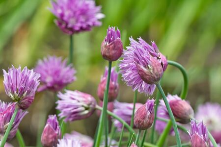 Flowering lilac-pink perennial plants of the Siberian onion