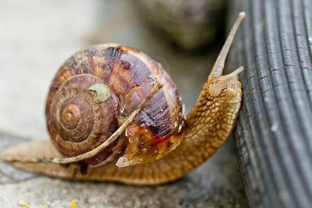grape snail: Large grape snail overcomes obstacles in the form of a rubber garden hose