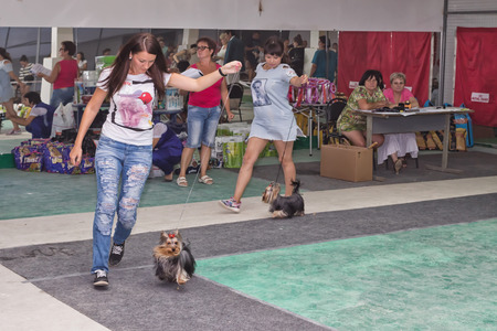 show ring: VOLGOGRAD - AUGUST 28: Girls with their Pets Yorkshire Terriers are performing a jog around the ring at a dog show. August 28, 2016 in Volgograd, Russia. Editorial