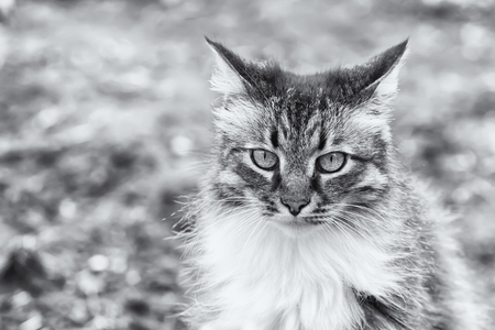 Front view of a beautiful long hired maine coon cat, soft focus shot of a brown, white and black domestic cat in a portrait style Standard-Bild