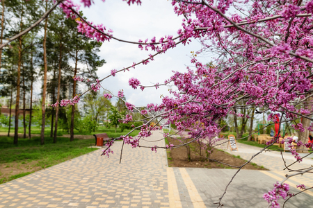 Beautiful blooming in the spring with lots of small pink flowers tree in the city Park