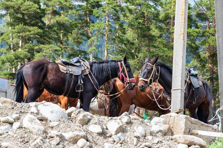 Horses harnessed with saddles standing at the post waiting for tourists for a horse ride through the mountains