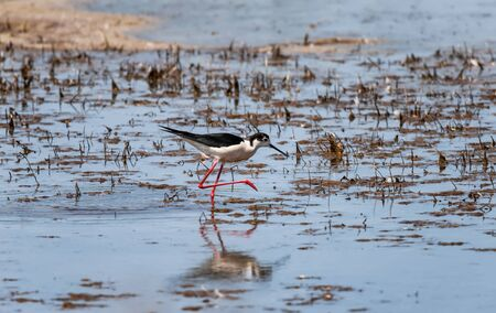 A small steppe Sandpiper with red legs walks on a small pond in search of food