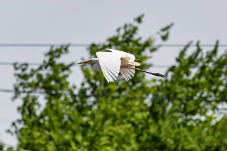 Great white Heron flying on the background of the power line