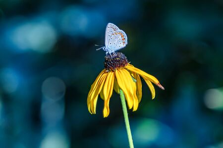 A butterfly drinks nectar from a garden flower and thus produces pollination of plants Archivio Fotografico - 129459781