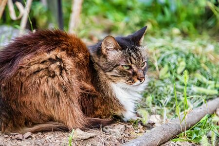 Domestic long-haired cat tricolor resting in the garden lying in the grass Archivio Fotografico - 129459700
