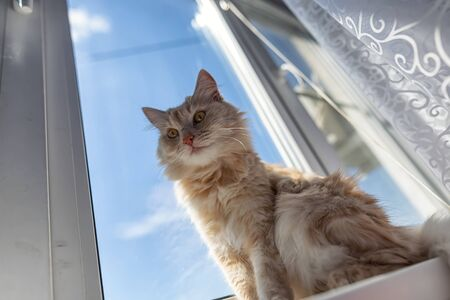 A beautiful fluffy domestic cat is lying on the windowsill and basking in the sun