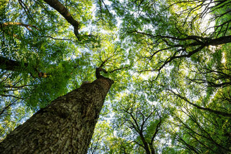 Bottom-up view of the crown of tall trees growing in the Caucasus forests Stok Fotoğraf