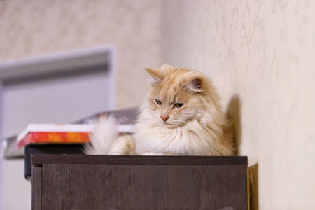 A fluffy peach-colored house cat is lying on the closet in the room Stok Fotoğraf