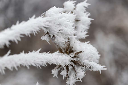 Long ice crystals on frozen tree branches after the onset of frost