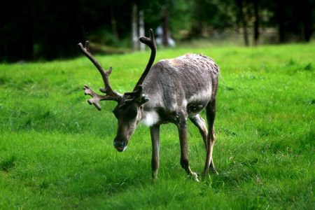 Reindeer Field Day