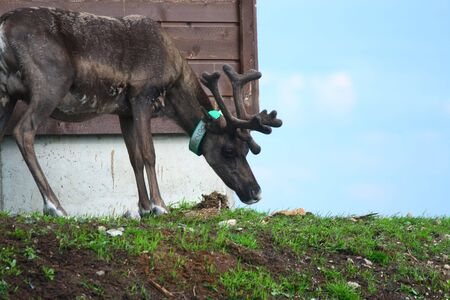 Reindeer beside building Zdjęcie Seryjne