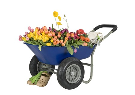 blue wheelbarrow full of flowers, tulips and daisies, gardening tools, shoes and gloves, path