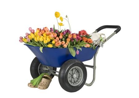 carretilla: carretilla azul lleno de flores, tulipanes y margaritas, herramientas de jardiner�a, zapatos y guantes, sin recortar camino