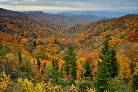 peaking: High vantage point of peaking fall color trees set in the back drop of the Great Smoky Mountain National Park