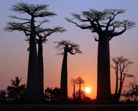 madagascar: Baobab Alley, Madagascar