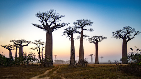 Baobab Alley at dawn - Madagascar, 4K resolution 16x9 ratio Stock Photo