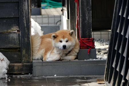 ?Buke Maru(Akita dog), Senboku City, Akita Prefecture Japan 写真素材