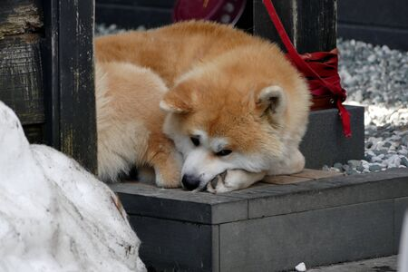 ?Buke Maru Akita dog, Senboku City, Akita Prefecture Japan